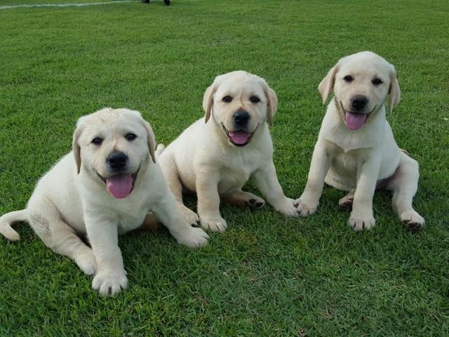 Instituto abre inscrições para famílias voluntárias acolherem futuros cães-guias