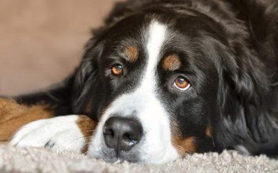 Cães também podem sofrer de depressão